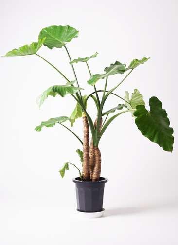 観葉植物 クワズイモ 10号 プラスチック鉢