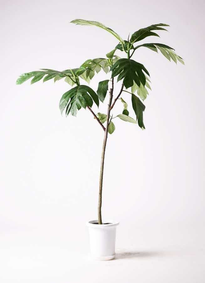 観葉植物 パンノキ 8号 プラスチック鉢