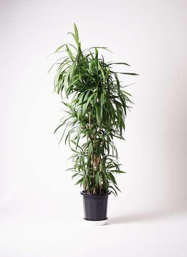 観葉植物 コルディリネ (コルジリネ) ストリクタ 10号 プラスチック鉢