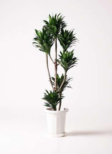 観葉植物 ドラセナ コンパクター 8号 プラスチック鉢