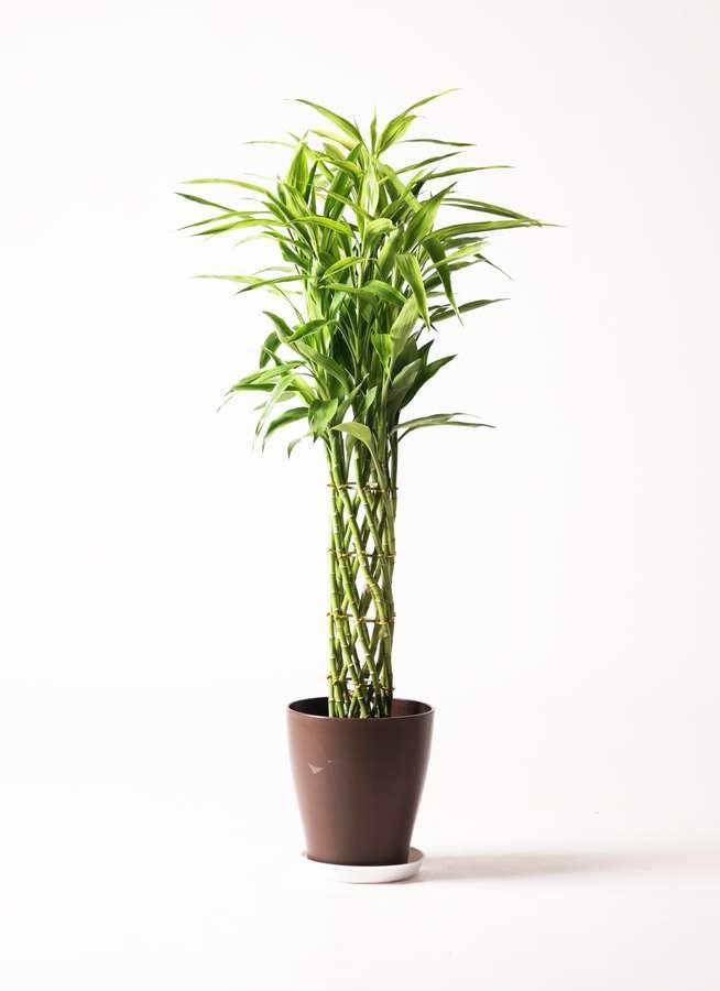 観葉植物 ドラセナ ミリオンバンブー(幸運の竹) 8号 プラスチック鉢