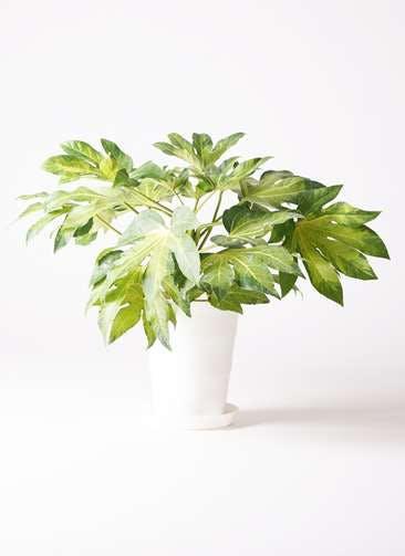 観葉植物 ヤツデ 7号 プラスチック鉢
