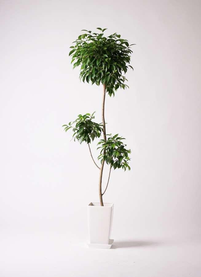観葉植物 フィカス ベンジャミン 8号 チラシ プラスチック鉢
