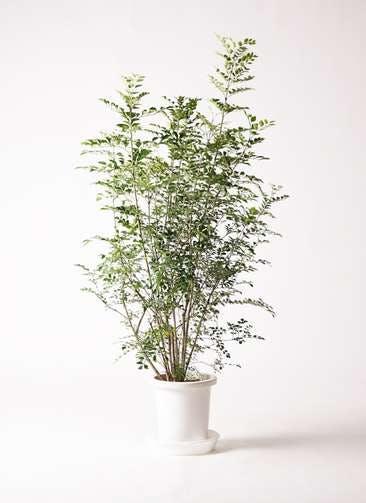 観葉植物 シマトネリコ 8号 プラスチック鉢
