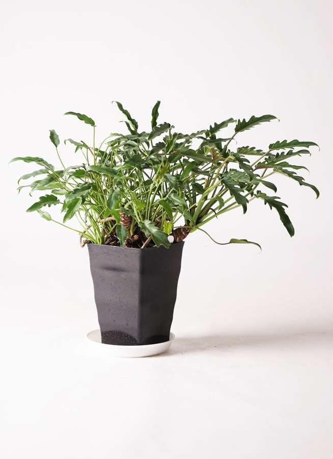 観葉植物 クッカバラ 6号 プラスチック鉢