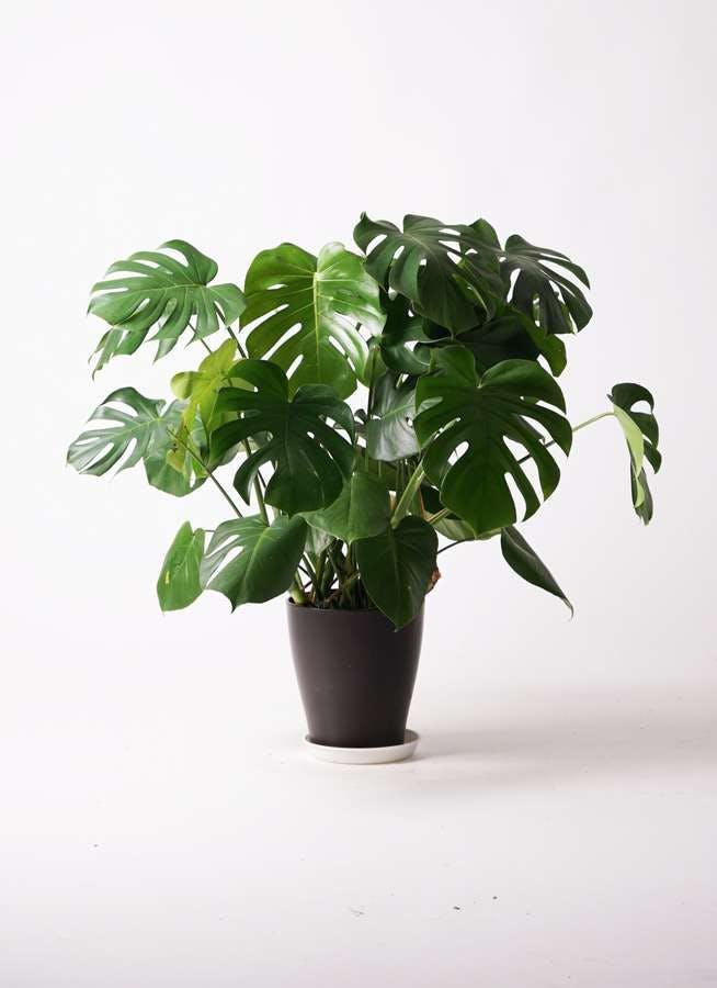 観葉植物 モンステラ 8号 ボサ造り プラスチック鉢