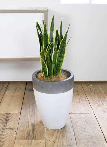 観葉植物 サンスベリア 8号 トラノオ ファイバーストーンカプリ 白 付き