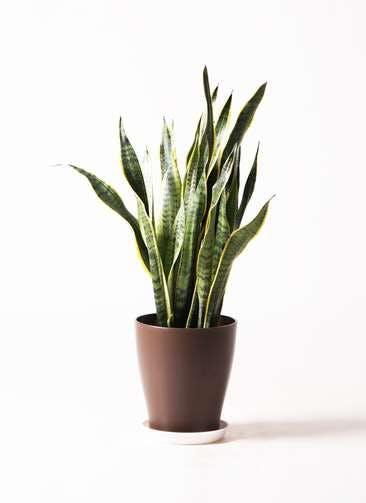 観葉植物 サンスベリア 8号 トラノオ プラスチック鉢