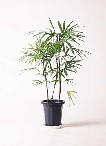 観葉植物 シュロチク(棕櫚竹) 8号 プラスチック鉢
