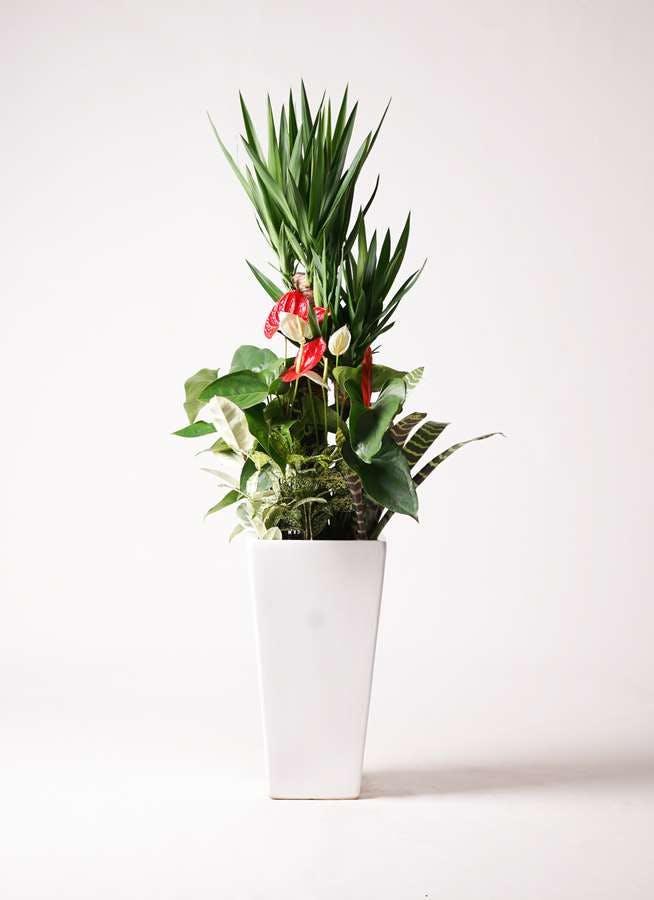 観葉植物 ユッカ 10号 寄せ植え 角高陶器 (紅白アンスリウム入り)