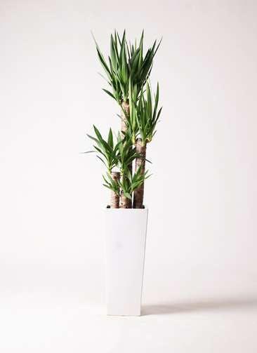 観葉植物 ユッカ 8号 ノーマル 角高陶器