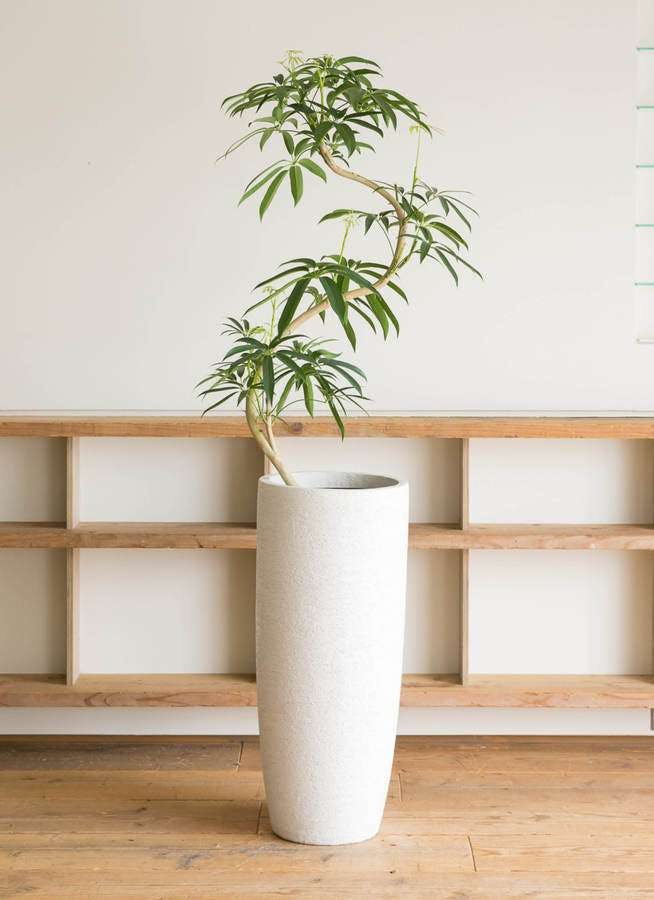 観葉植物 シェフレラ アンガスティフォリア 8号 曲り エコストーントールタイプ white 付き