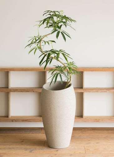 観葉植物 シェフレラ アンガスティフォリア 8号 曲り エコストーントールタイプ Light Gray 付き
