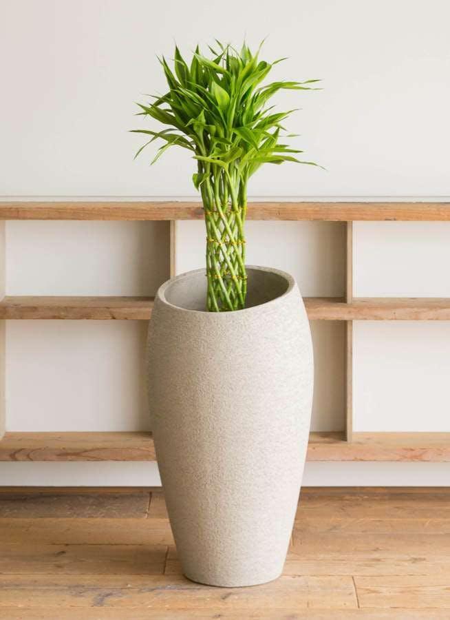 観葉植物 ドラセナ ミリオンバンブー(幸運の竹) 7号 エコストーントールタイプ Light Gray 付き