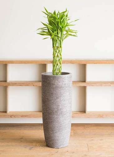 観葉植物 ドラセナ ミリオンバンブー(幸運の竹) 7号 エコストーントールタイプ Gray 付き