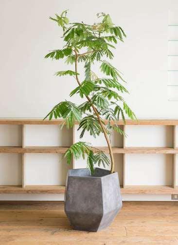 観葉植物 エバーフレッシュ 10号 曲り ファイバークレイGray 付き