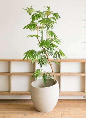 観葉植物 エバーフレッシュ 10号 曲り エコストーンLight Gray 付き