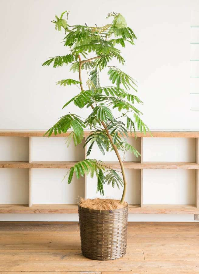 観葉植物 エバーフレッシュ 10号 曲り 竹バスケット 付き