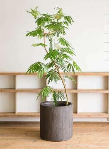 観葉植物 エバーフレッシュ 10号 曲り アルファシリンダープランター ウッド 付き