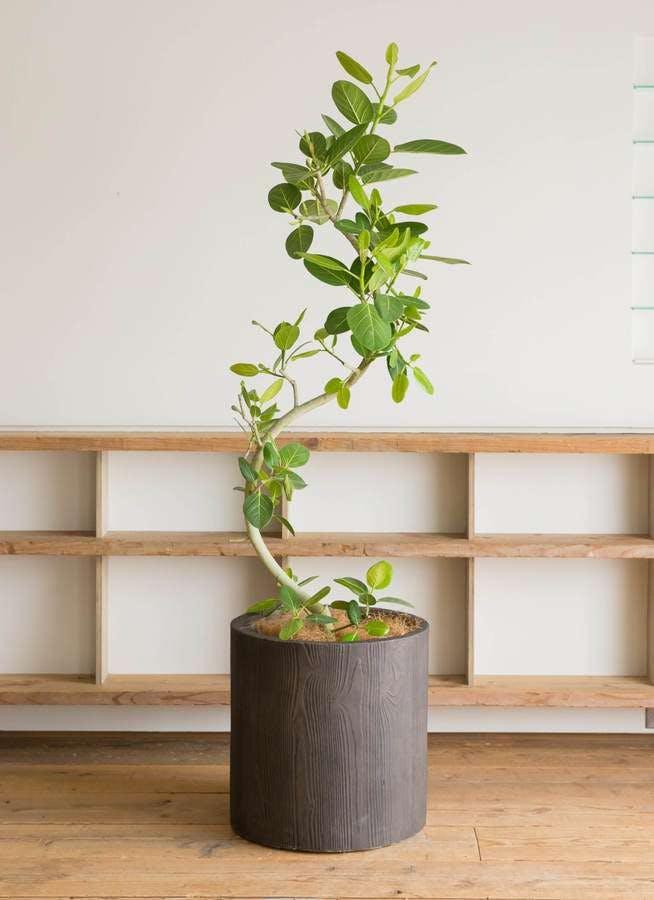 観葉植物 フィカス ベンガレンシス 10号 曲り アルファ シリンダープランター ウッド 付き