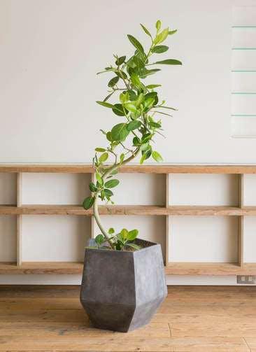 観葉植物 フィカス ベンガレンシス 10号 曲り ファイバークレイGray 付き