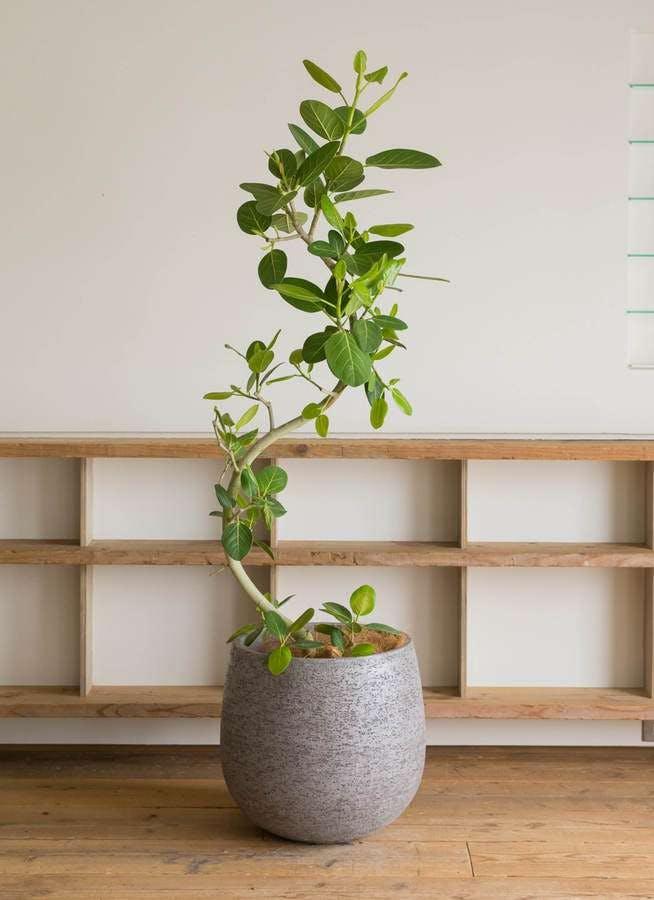 観葉植物 フィカス ベンガレンシス 10号 曲り エコストーンGray 付き