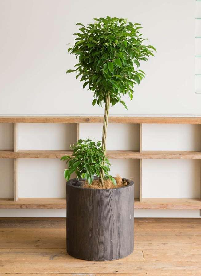 観葉植物 フィカス ベンジャミン 10号 玉造り アルファシリンダープランター 付き
