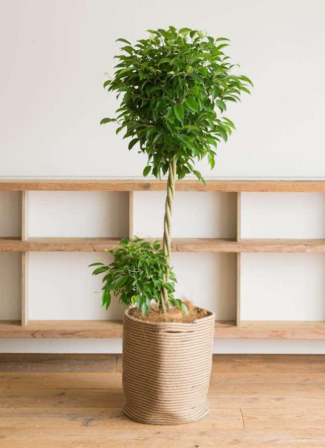 観葉植物 フィカス ベンジャミン 10号 玉造り リブバスケットNatural 付き