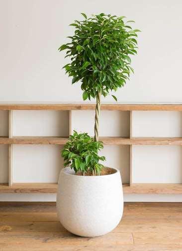 観葉植物 フィカス ベンジャミン 10号 玉造り エコストーンwhite 付き
