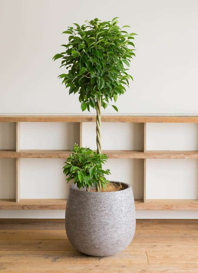 観葉植物 フィカス ベンジャミン 10号 玉造り エコストーンGray 付き