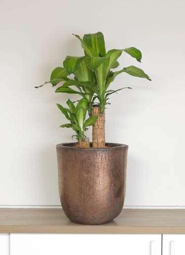 観葉植物 ドラセナ 幸福の木 6号 ノーマル ビトロ ウーヌム コッパー釉 付き
