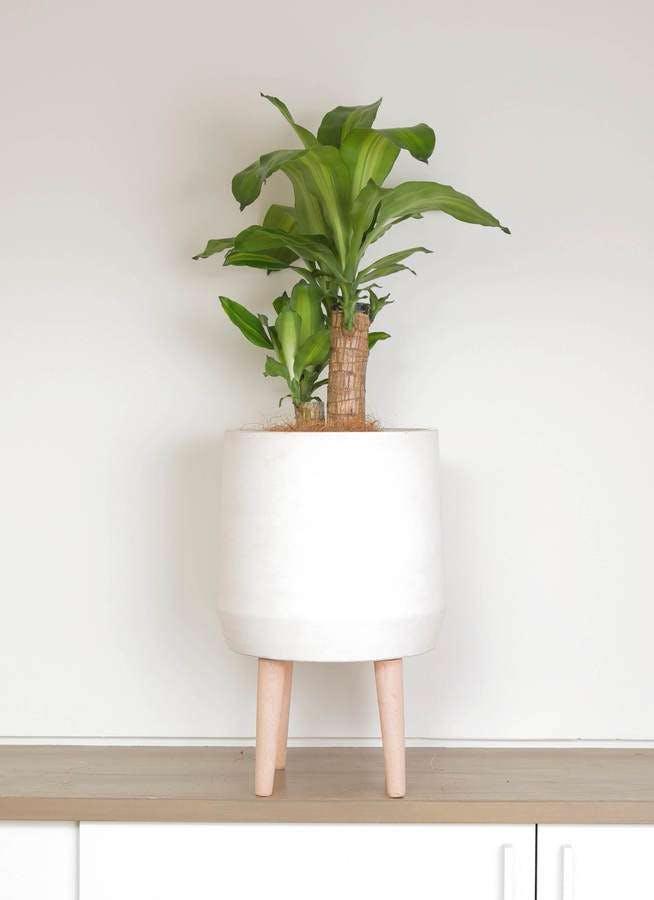 観葉植物 ドラセナ 幸福の木 6号 ノーマル ファイバークレイwhite 付き
