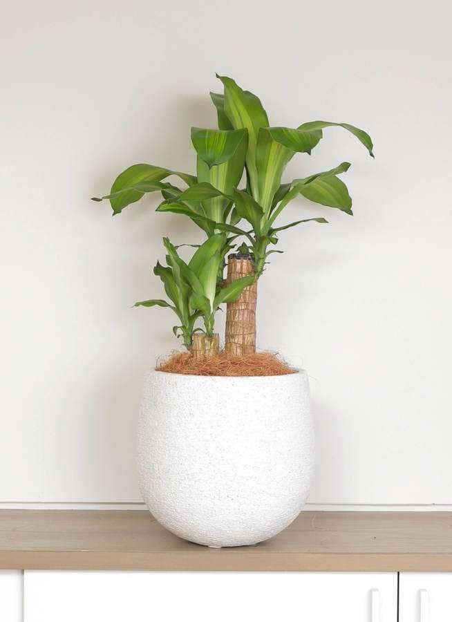 観葉植物 ドラセナ 幸福の木 6号 ノーマル エコストーンwhite 付き