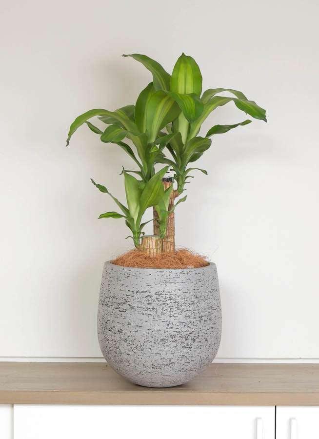 観葉植物 ドラセナ 幸福の木 6号 ノーマル エコストーンGray 付き