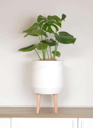 観葉植物 モンステラ 6号 ボサ造り ファイバークレイ white 付き