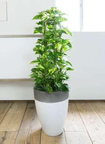 観葉植物 ポトス 8号 ファイバーストーンカプリ 白 付き