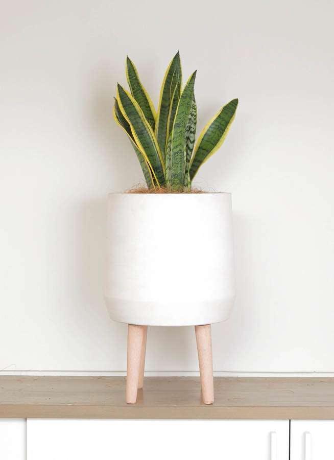 観葉植物 サンスベリア 6号 トラノオ ファイバークレイ white 付き