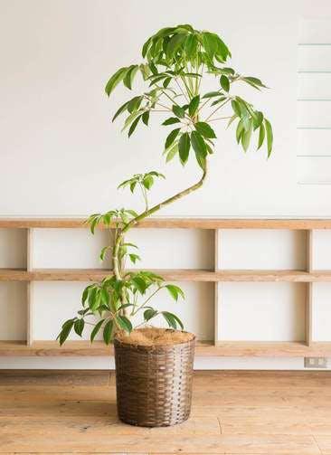 観葉植物 ツピダンサス 10号 曲り 竹バスケット 付き