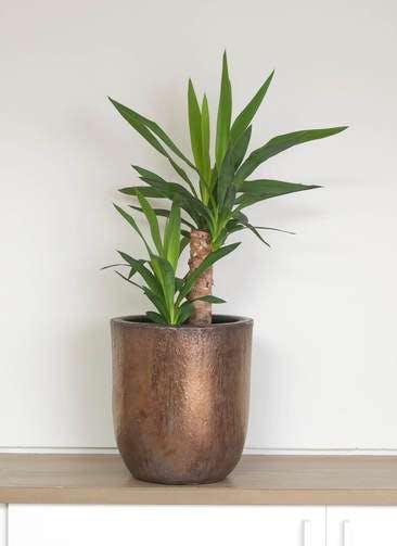 観葉植物 ユッカ 6号 ノーマル ビトロ ウーヌム コッパー釉 付き