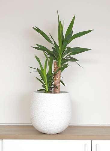 観葉植物 ユッカ 6号 ノーマル エコストーンwhite 付き