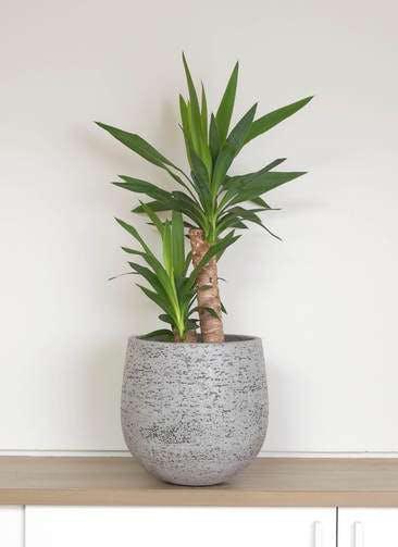 観葉植物 ユッカ 6号 ノーマル エコストーンGray 付き