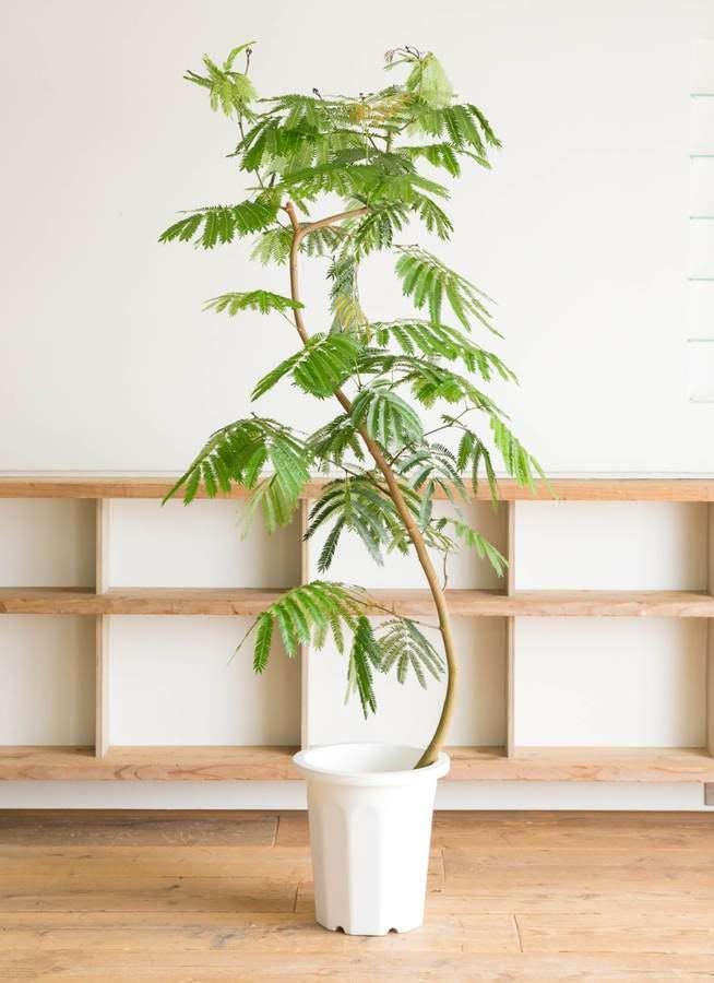 観葉植物 エバーフレッシュ 10号 曲り プラスチック鉢