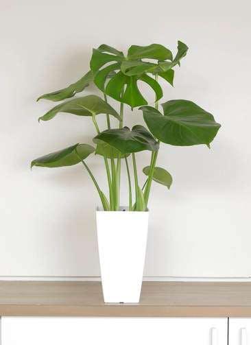 観葉植物 モンステラ 6号 ボサ造り 白角鉢