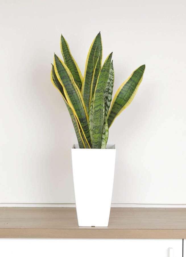 観葉植物 サンスベリア 6号 トラノオ 白角鉢