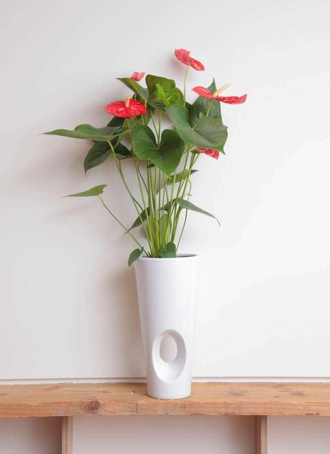 観葉植物 アンスリウム 6号 ダコタ 陶器鉢カバー