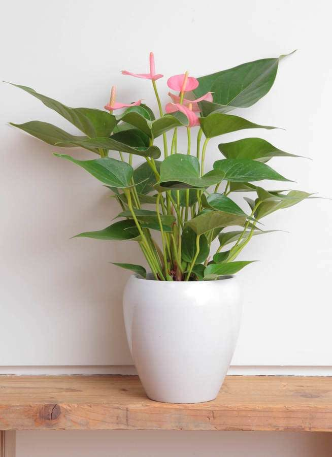 観葉植物 アンスリウム 5号 ピンクチャンピオン 丸陶器