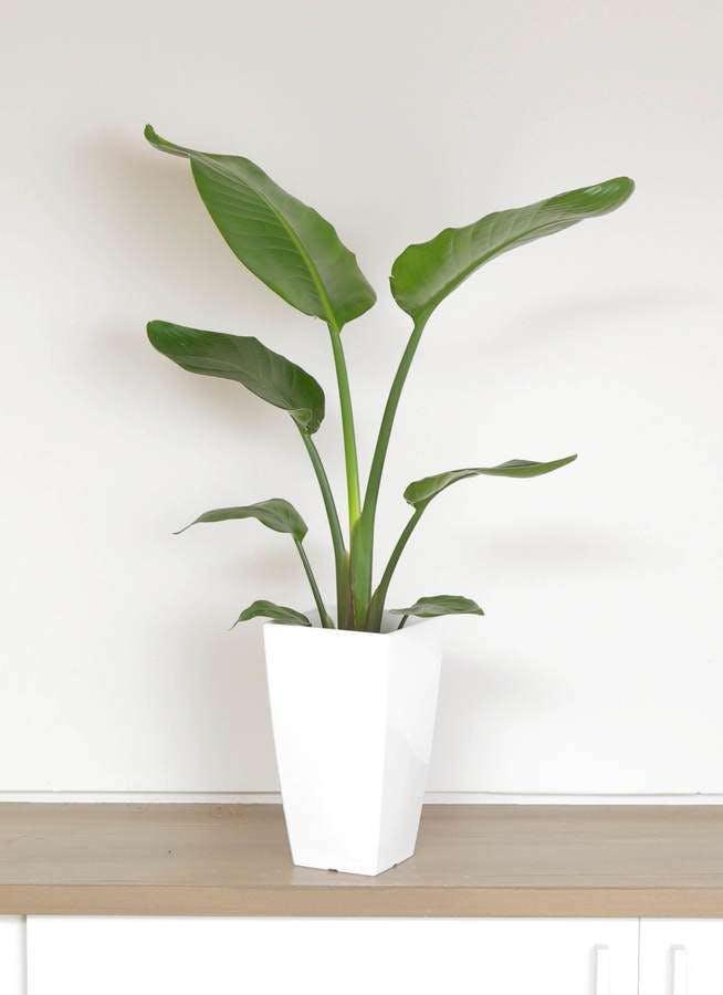 観葉植物 オーガスタ 6号 白角鉢