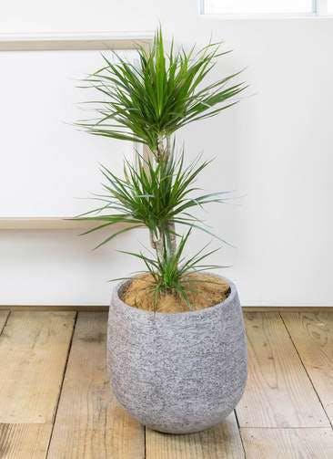 観葉植物 ドラセナ コンシンネ 7号 エコストーンGray 付き