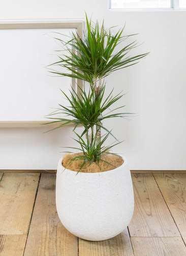 観葉植物 ドラセナ コンシンネ 7号 エコストーンwhite 付き