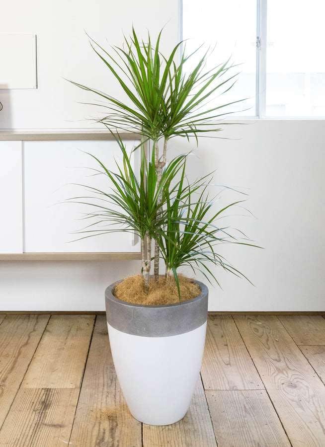 観葉植物 ドラセナ コンシンネ 8号 ファイバーストーン カプリ 白 付き